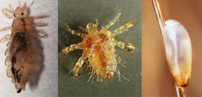Kako izgledaju uši: upoznati s obilježjima izgleda i biologije parazita