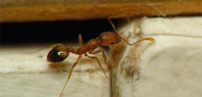 Zamke za domaće mrave u stanu