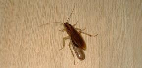 Gdje se žohari obično skrivaju u stanu i mogu li ispuzati iz kanalizacije?
