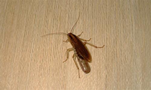 Gdje se u stanu skrivaju žohari ...