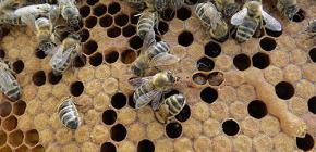 Upotreba tinkture pčelinjeg moljca za liječenje bolesti