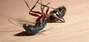 Odabir lijeka za kućne mrave u stanu