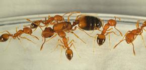 Odakle dolaze mravi u kući i morate li ih se bojati
