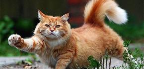 Kako brzo i sigurno ukloniti buhe od mačke