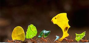 O životu mrava za rezanje listova