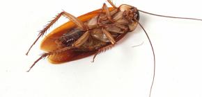 Osloboditi se invazije žohara kod kuće