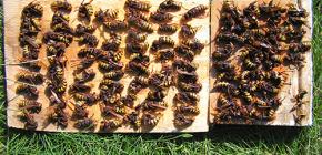 Kako se učinkovito nositi sa stršljenima i dovesti ih u kućicu ili pčelinjak