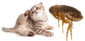 Mačke buha: kako izgledaju i opasne su za čovjeka