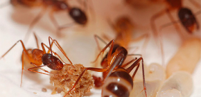 Istrebljenje mrava u stanu