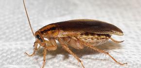 Saznajte gdje su žohari nestali i zašto su nestali
