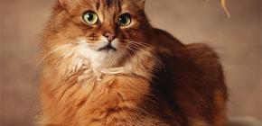Kako se riješiti buha od mačke: mi sami tretiramo vašeg ljubimca