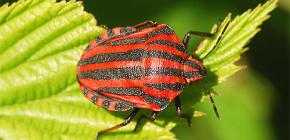 Izgled i obilježja života talijanskog buga