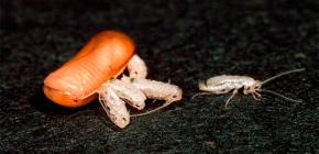 Koliko žohara može izleći (roditi se) iz jednog jajeta?