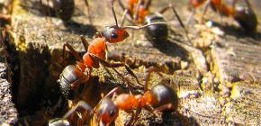 Kako se mravi pripremaju za zimu