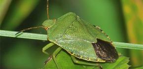 Kako izgleda zeleni kukac i vrijedi li se toga bojati