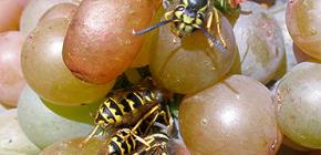 Kako zaštititi berbu grožđa od ose i zaštititi je tijekom cijelog razdoblja zrenja