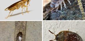 Vrste kukaca koji mogu živjeti u stanu, i njihove fotografije