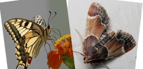 Zašto moljac nema proboscis - nije li leptir?
