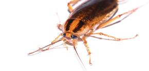 Učinkoviti lijek za žohare Global (Globol)