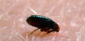 Gdje buhe dolaze iz domova i stanova: glavni razlozi za pojavu parazita