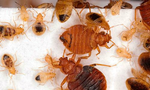 Metode koje pomažu potpuno uništiti bugove u stanu ...