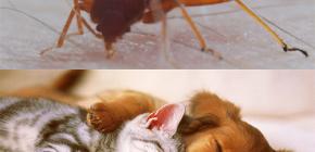 Mogu li stjenice gristi domaće životinje (mačke, psi, kokoši)?