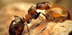 Fotografije raznih vrsta mrava i zanimljive značajke njihovog života