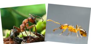 O crvenim šumama i domaćim mravima, kao io njihovim razlikama