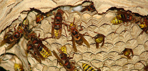 Hornetsova gnijezda (foto): o njihovom uređaju i kako ih ispravno i sigurno ukloniti