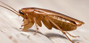 Kako i gdje se u stanu pojavljuju žohari?