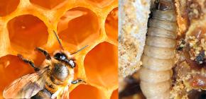 Liječenje tinkture voska moljca