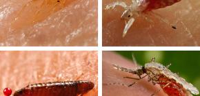 Koje vrste insekata koji sišu krv mogu se naći u krevetu ili na kauču