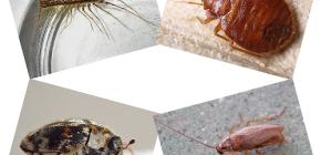 Kakve se domaće insekte može naći u ljudskom stanovanju: paraziti i štetnici