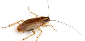 Fotografije raznih vrsta domaćih žohara
