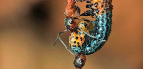 Koliko košta mrav i koliko može podići težinu