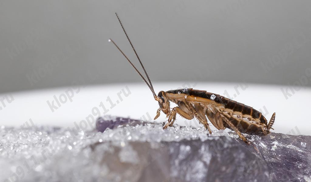 Omnivorous žohara