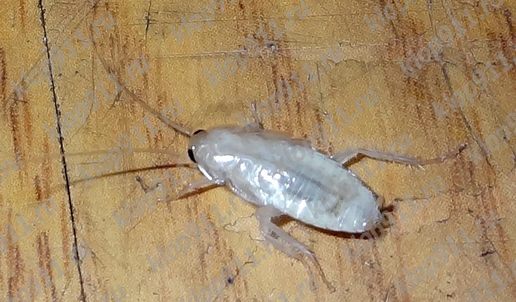 Albino žohar