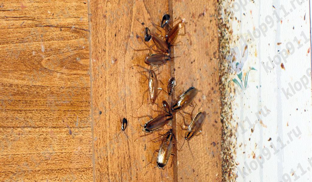 Bakterije na šapa žohara