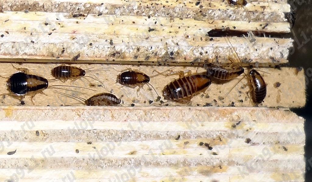 Akumulacija nimfa crvenog žohara u namještaju